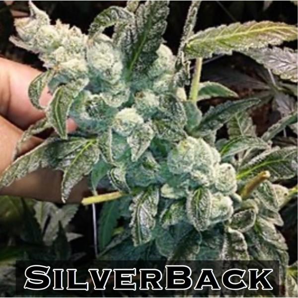 Silverback Auto *NEW (GG4xUWxJager)